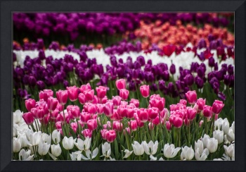 Beautiful colorful tulips at a green garden of Ist