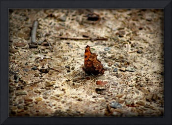 Eastern Comma Butterfly Ventral View 2016