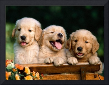 Adorable Golden Retriever Puppies Pose