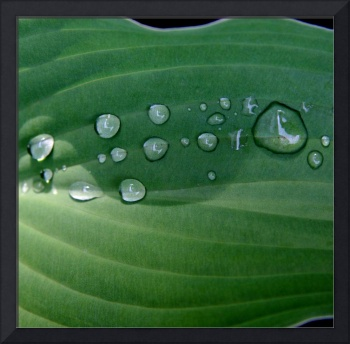 Hosta leaf with raindrops