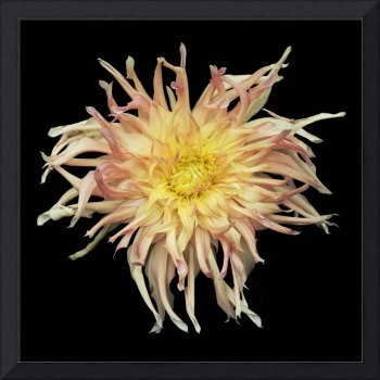 Shaggy Yellow and Pink Dahlia