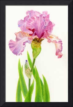 Pink Iris with Leaves on White Background