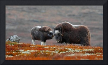 A Mother Muskox and Calf In Norway
