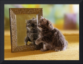 Mirror Image Grey Tabby Kitten