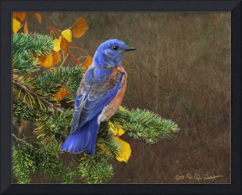 bluebird in autumn spruce