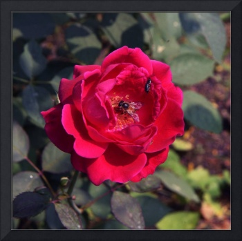 A Beautiful Red Rose and Bees | Nature Photography