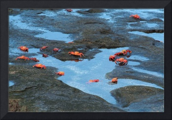 Sally LIghtfoot Crabs on a Lava Beach