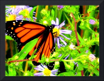 Monarch Butterfly and Wild Asters