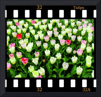 Tulips On Film