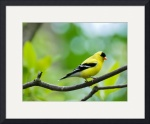 American Goldfinch by Rich Kaminsky