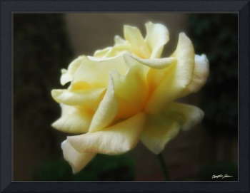 My First Yellow Rose - The Second Morning 1
