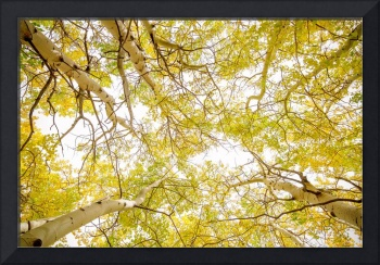 Golden_Aspen_Forest_Canopy