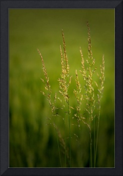 Grass in the evening light