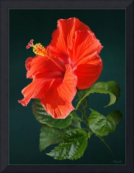 Red Darling Hibiscus