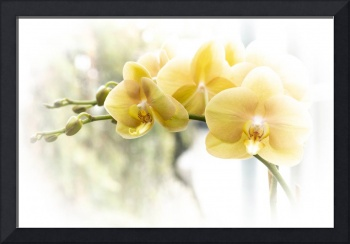 Yellow Moth Orchids in the Sun
