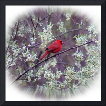 Male Cardinal in Spring Square Vignette
