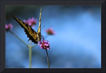 Eastern Tiger Swallowtail and Blue Sky