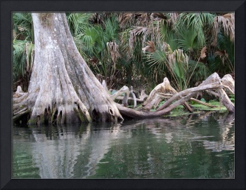 Cypress tree knees reflected in the river