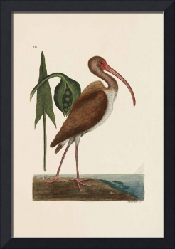 Mark Catesby~The Brown Curlew, The Natural History