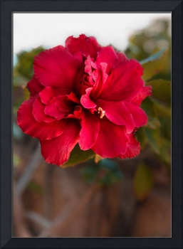 Red Double Hibiscus