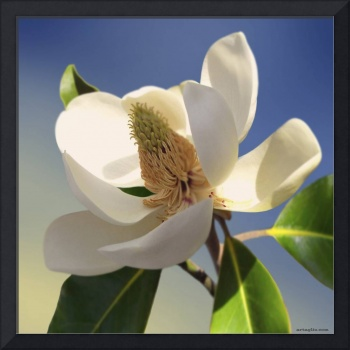 Southern Magnolia