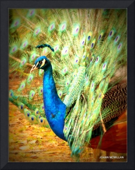 Beautiful Peacock