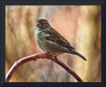 Female House Sparrow HDR