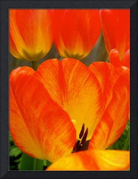 Colorful Spring Tulip