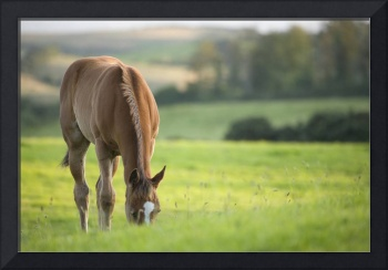 Horse in field in county Wexford, Ireland