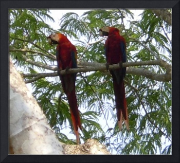 Scarlet Macaws in Costa Rica - View 2