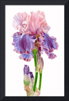 Iris Florentine Silk on white