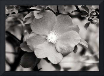 Black and White Wild Rose 2