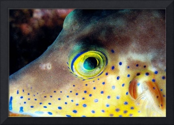 Pufferfish Snout