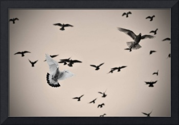 White dove and black dove in the air