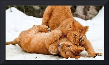 Lion Cubs Play In The Snow