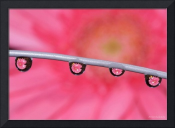 Macro Flower closeup Water drops Gerbera