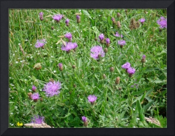 Purple flowers of the field