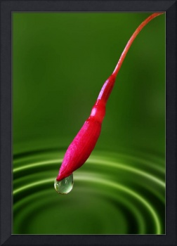 Fuchsia bud and droplet
