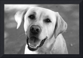 Yellow Labrador 2