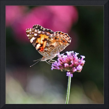 Butterfly  American Painted Lady