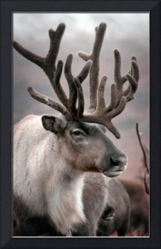 Beautiful Reindeer
