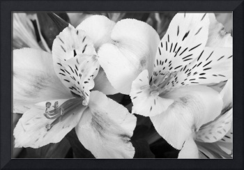 Peruvian Lilies  Flowers Black and White Print