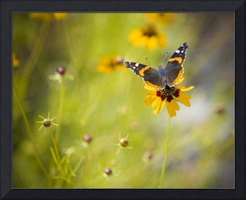 Spring's Renewal (Red Admiral Butterfly)