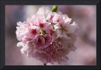 Cherry Blossom of Life