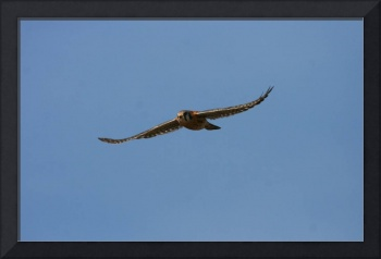 American Kestrel Falcon In Flight