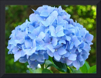 Blue Hydrangea Flower Garden Summer art