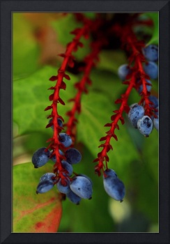 Young Blueberries
