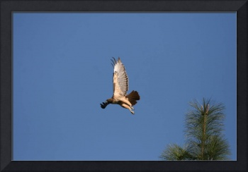 Red Tail Hawk Turns in Flight
