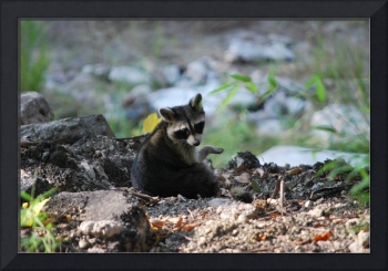 Raccoon Discussion