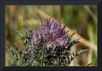 Horrible Horrible Thistle